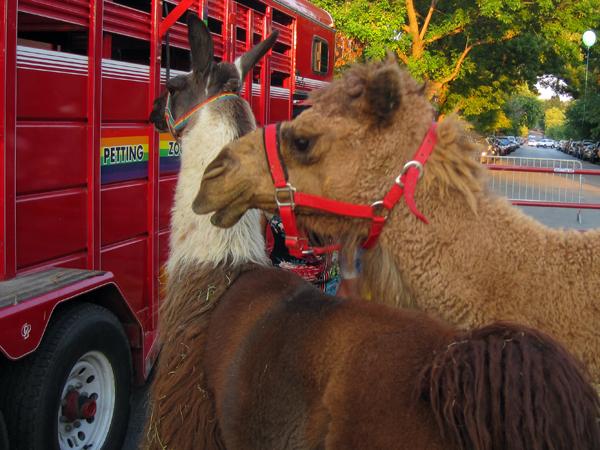 1 llama and camel